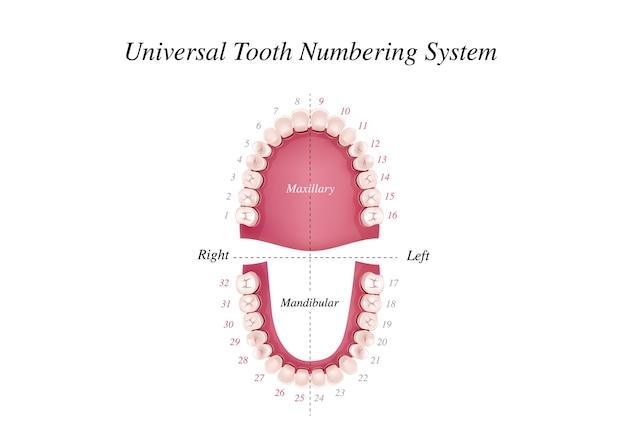Internationale tandnummeringstabel voor volwassenen. universeel nummeringssysteem Premium Vector