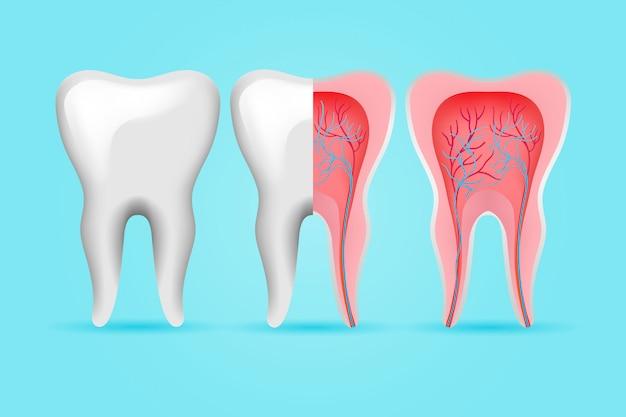 Interne en externe tandenset Gratis Vector