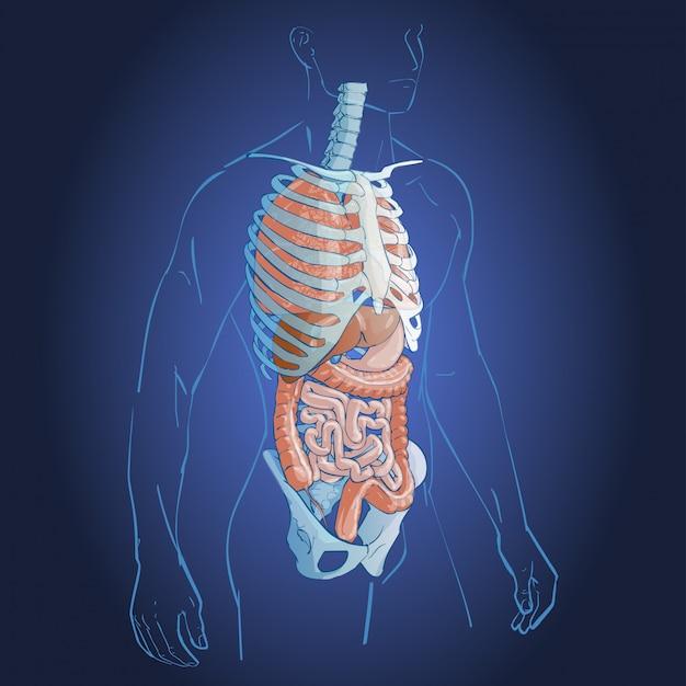 Interne organen systeem Premium Vector