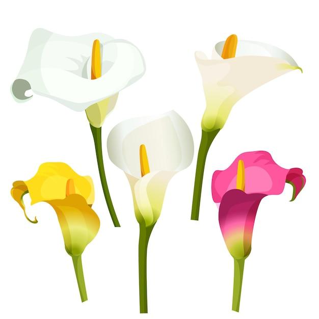 Inzameling van gekleurde aronskelken op wit. illustratie van witte, violette en gele aanhankelijke bloemen op groene dunne stengels. zantedeschia, calla lelie gebruikt als zeer gewaardeerde sierplant Premium Vector