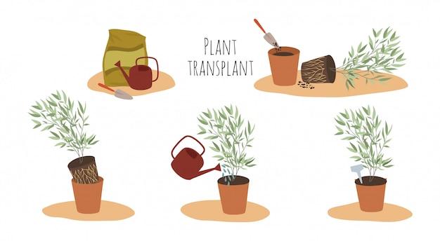 Kamerplanten in potten in verschillende stadia van transplantatie. transplantatiemethode. Premium Vector