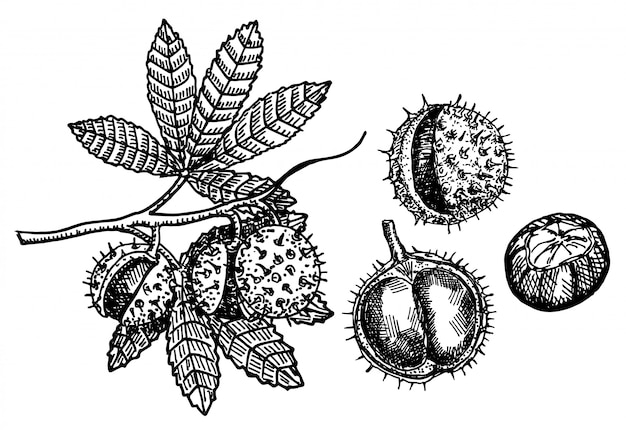 Kastanje set schetsen op witte achtergrond. kastanjetak met vruchten. botanische tekening. vectorillustratie schets. Premium Vector
