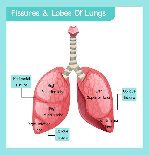 Kloven en lobben van longen Premium Vector