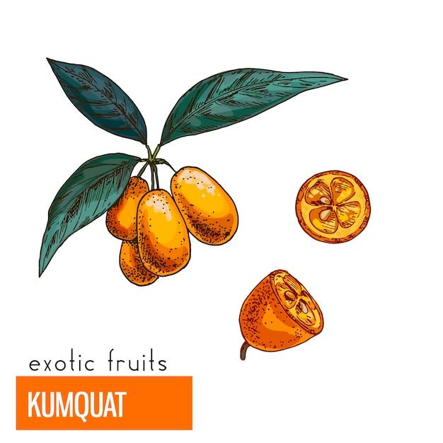Kumquat. kleur vectorillustratie. Premium Vector