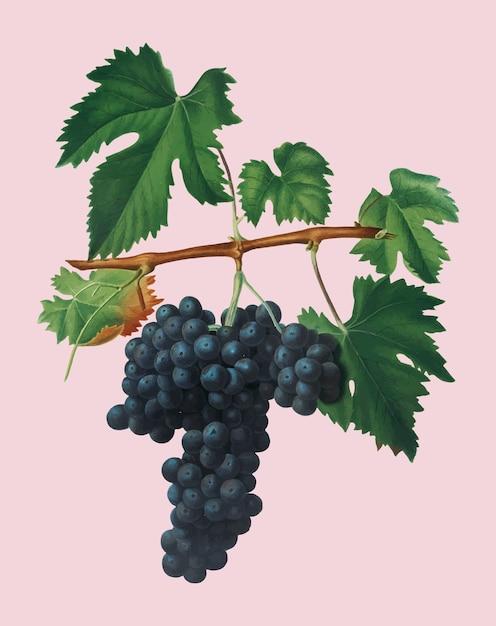 Lacrima-druiven van de illustratie van pomona italiana Gratis Vector