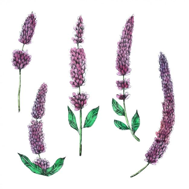 Lavendel hand gekwetst in aquarel collectie Premium Vector