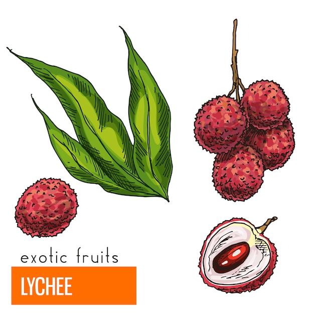 Lychee. volledige kleuren realistische hand getekend Premium Vector