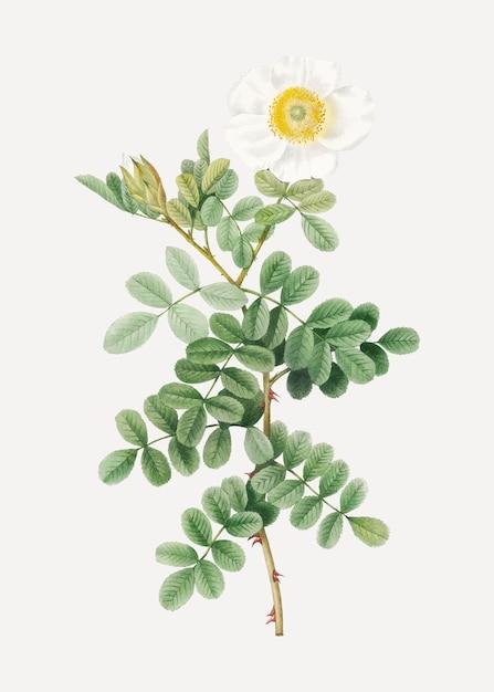 Macartney rose-tekening Gratis Vector