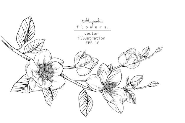 Magnolia bloemtekeningen. Premium Vector