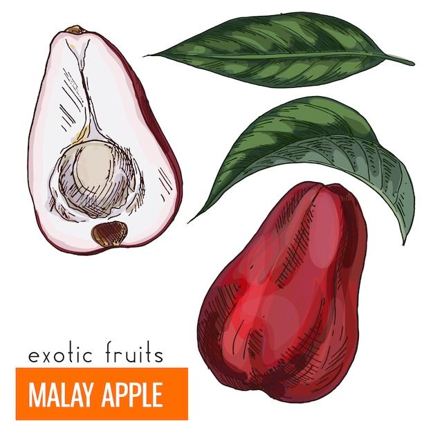 Maleise appel. kleur vectorillustratie. Premium Vector