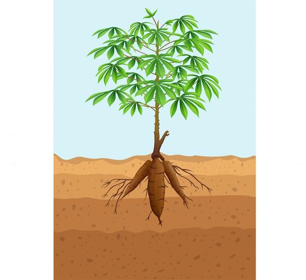 Maniokboomplant met wortels Premium Vector