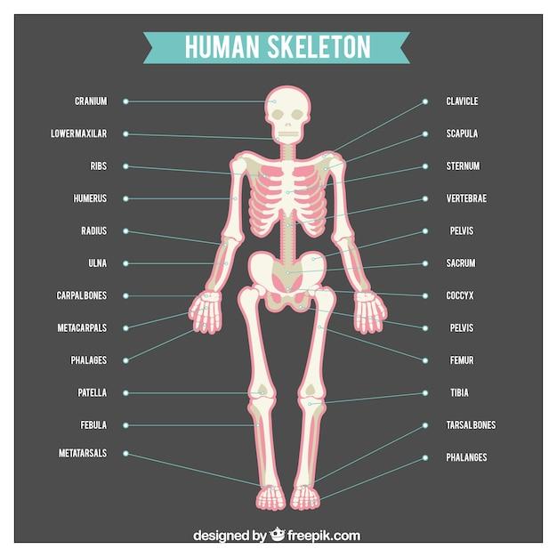 Menselijk skelet met namen van lichaamsdelen Gratis Vector