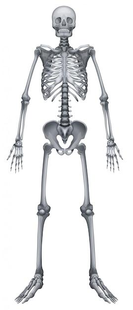 Menselijk skelet Gratis Vector