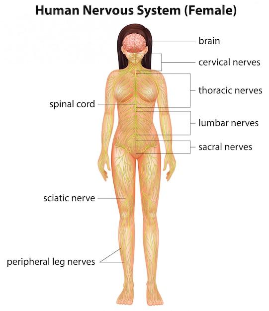 Menselijk zenuwstelsel Gratis Vector