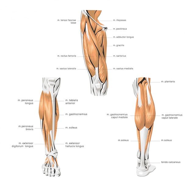 Menselijke anatomie beenspieren Premium Vector