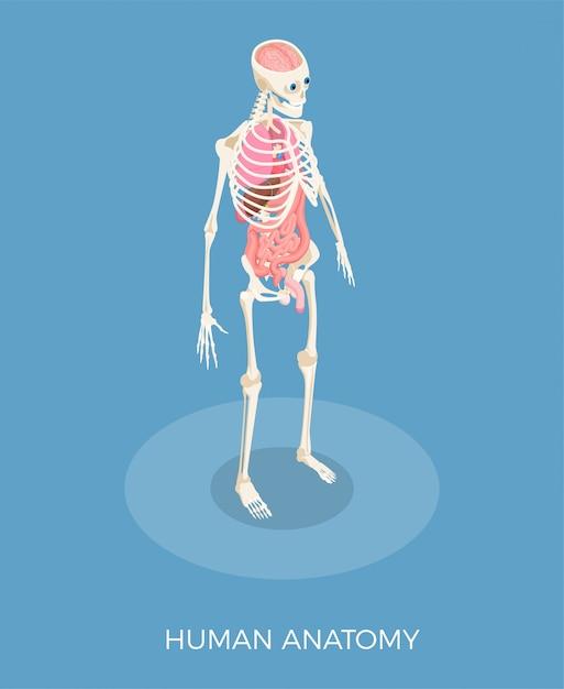 Menselijke anatomie isometrische samenstelling met 3d skelet en interne organen Gratis Vector