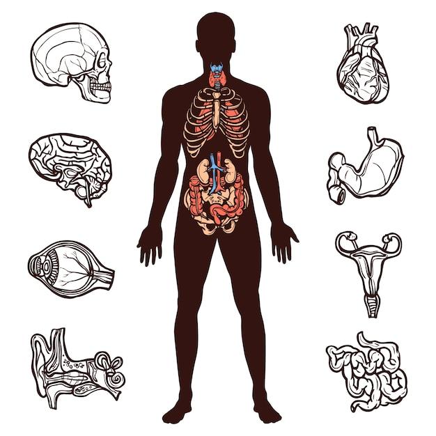 Menselijke anatomie set Gratis Vector