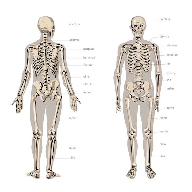Menselijke anatomie, skelet Premium Vector