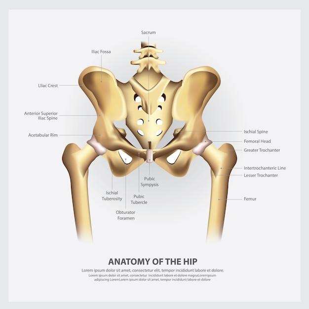 Menselijke anatomie van de heup illustratie Premium Vector