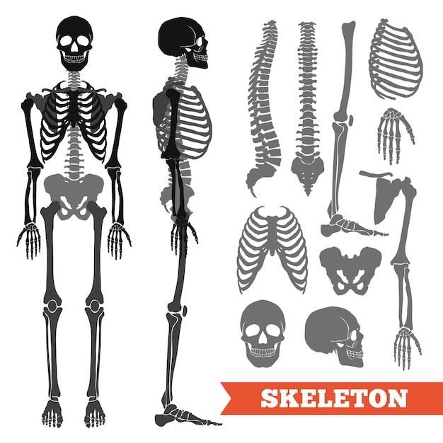 Menselijke botten en skeletenset Gratis Vector