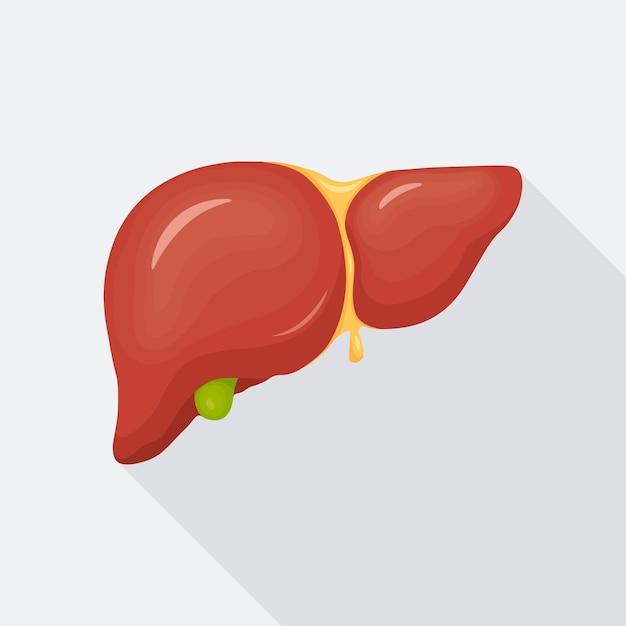 Menselijke lever, intern orgaan voor illustratie van de medische wetenschap anatomie Premium Vector