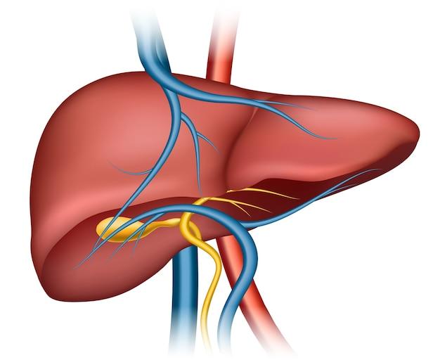 Menselijke leverstructuur. menselijk orgaan, medische wetenschap, interne gezondheid Gratis Vector