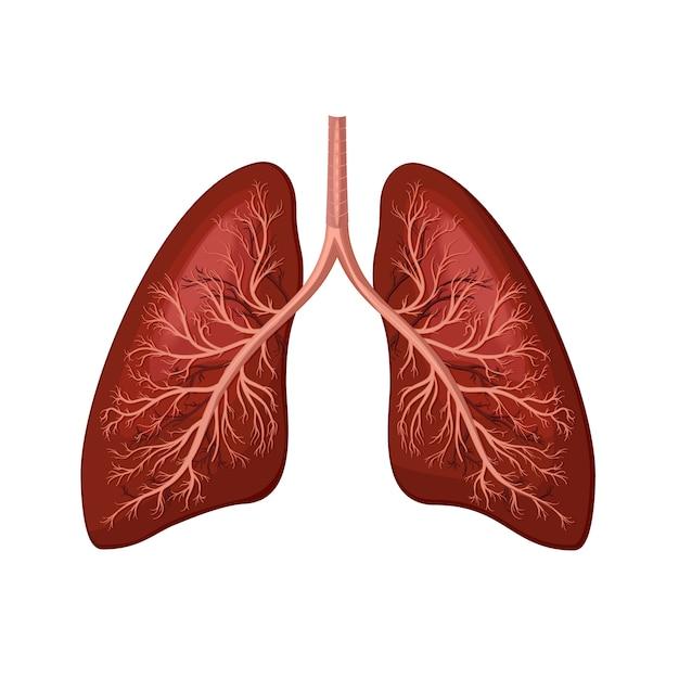 Menselijke longen Premium Vector