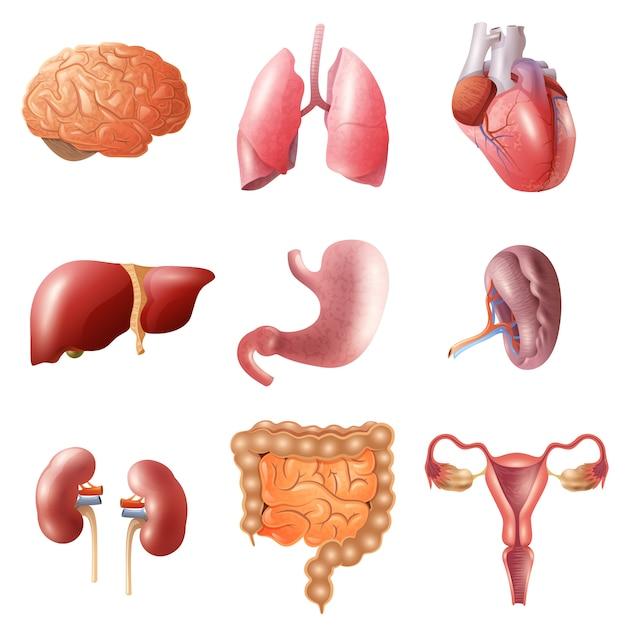Menselijke organen ingesteld Gratis Vector