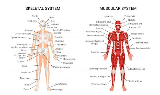Menselijke spierstelsel-systemen, informatieve poster Gratis Vector