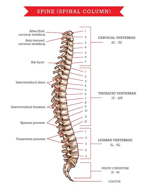 Menselijke wervelkolom botten anatomie, schets van skelet ruggengraat of wervelkolom. cervicale, thoracale en lumbale wervels, bekkenkromming en stuitbeen, ribfacet, tussenwervelschijven en foramen Premium Vector
