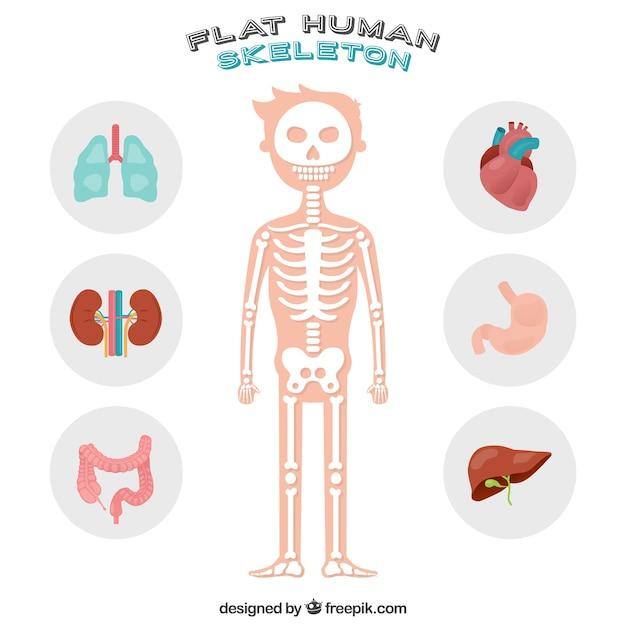 Mooi menselijk skelet Gratis Vector