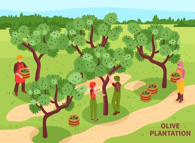 Olijven oogsten isometrische poster Gratis Vector