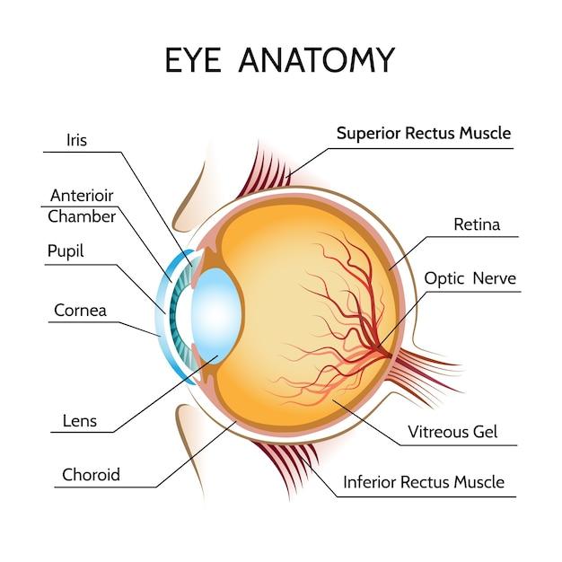 Oog anatomie illustratie Gratis Vector