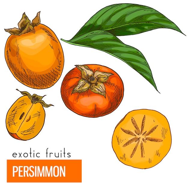 Persimmon. kleur vectorillustratie. Premium Vector