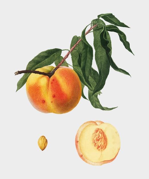 Perzik van de illustratie van pomona italiana Gratis Vector