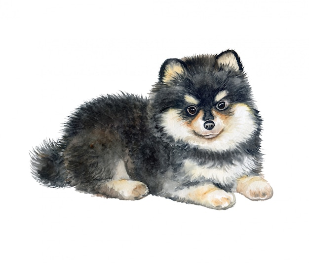 Pomeranian puppy rashond. waterverf. Premium Vector