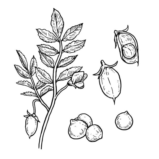 Realistische hand getrokken illustratie kikkererwten bonen en plant Gratis Vector