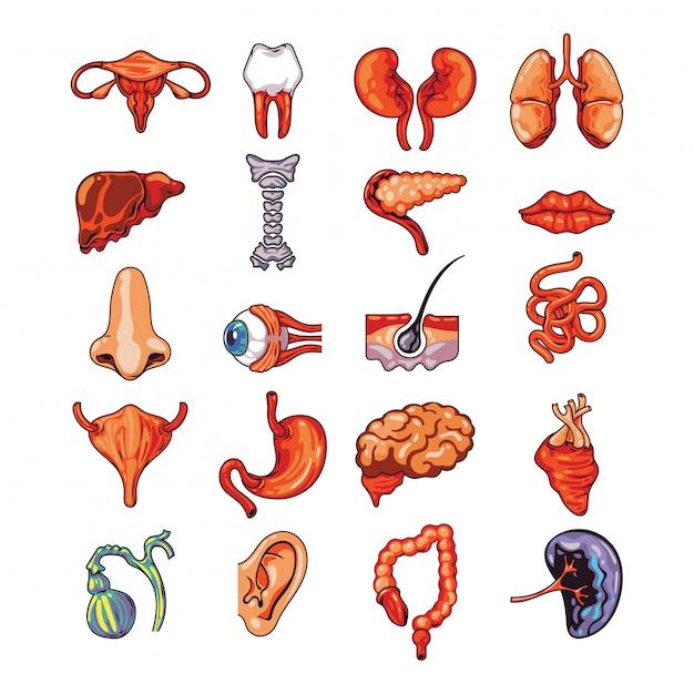 Reeks menselijke interne organen met inbegrip van hersenen, hart, lever, milt, nieren, reproductief systeem, huid geïsoleerde vectorillustratie Premium Vector