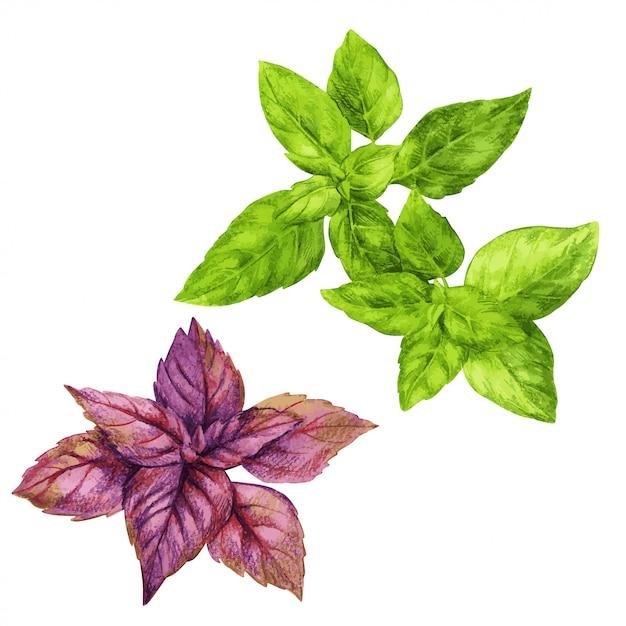 Rode en groene basilicum, hand getrokken aquarel Premium Vector