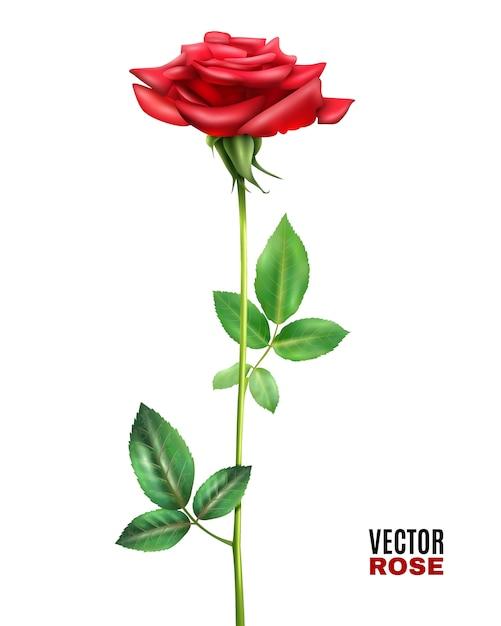 Rose bloem illustratie Gratis Vector