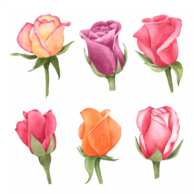 Rose hand pained in watercolourcollectie Premium Vector