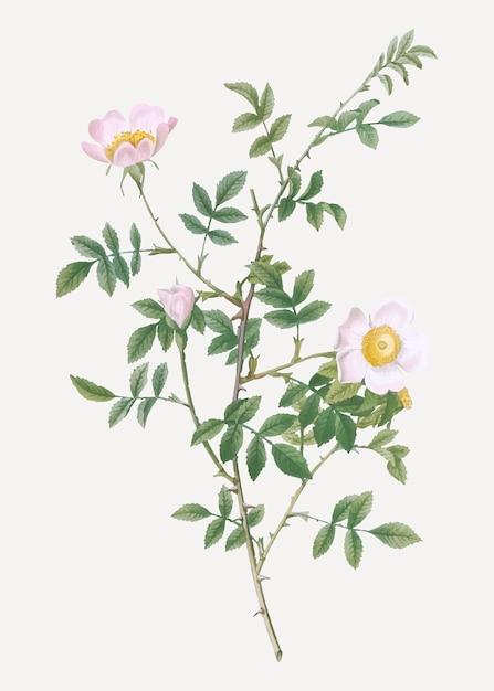Roze haag steeg in bloei Gratis Vector