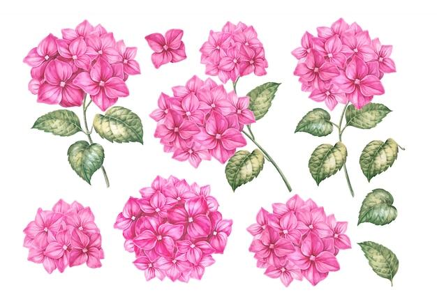 Roze hortensia bloemen set. Premium Vector