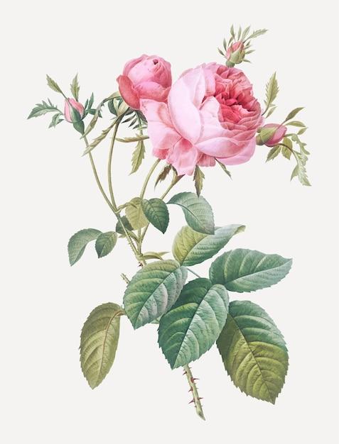 Roze kool roos Gratis Vector