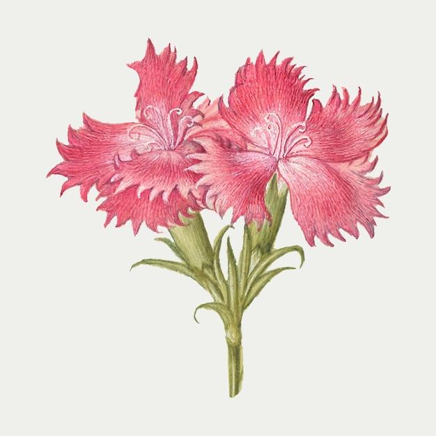 Roze zoete william bloesem illustratie Gratis Vector