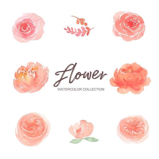 Set van aquarel roze pioen en klimmen rose verf illustratie van elementen op wit. Gratis Vector