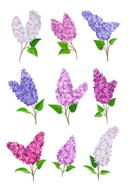 Set van bloeiende seringen van verschillende kleuren Premium Vector