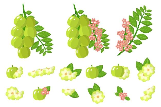 Set van illustraties withstar kruisbes exotisch fruit, bloemen en bladeren geïsoleerd Premium Vector