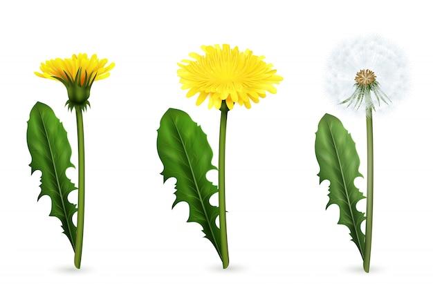 Set van realistische afbeeldingen van gele en witte paardebloem bloemen met bladeren in verschillende stadia van bloei geïsoleerd Gratis Vector