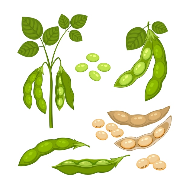 Set van sojabonen plant met rijpe peulen en groene bladeren, hele en half groene en droge bruine peulen, soja zaden geïsoleerd op een witte achtergrond. bush van peulvruchten plant in een cartoon vlakke stijl. Premium Vector